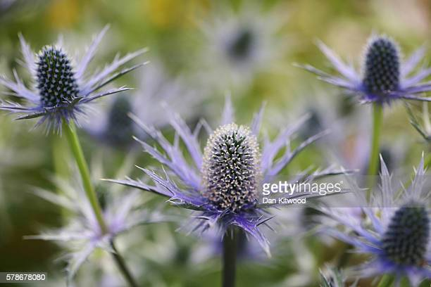 Thistle are displayed during the press preview day of the Hampton Court Palace Flower Show on on July 4 2016 in London England The Hampton Court...