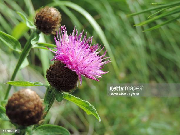 Thistle Flower Blooming Outdoors