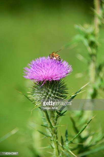 thistle flower with bee - sergio amiti stock pictures, royalty-free photos & images