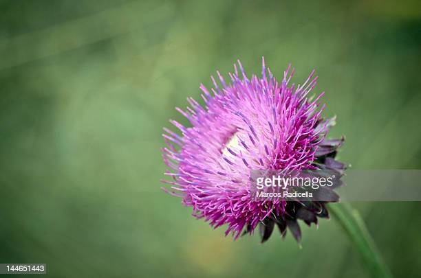 thistle - radicella stock photos and pictures
