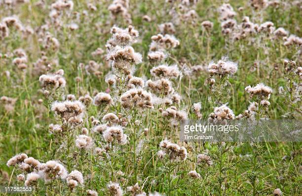 Thistle seeds spreading by wind dispersal in a field in The Cotswolds Gloucestershire England UK