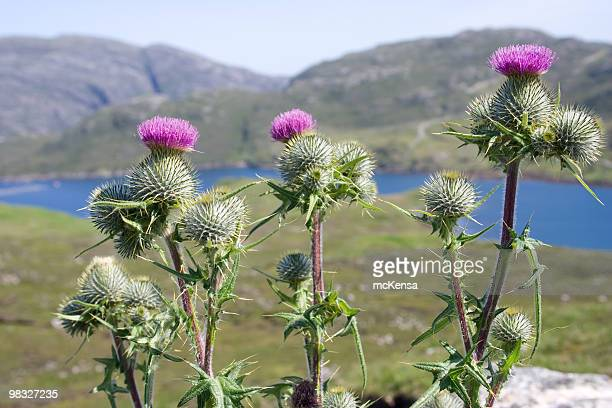 Thistles with hills in background