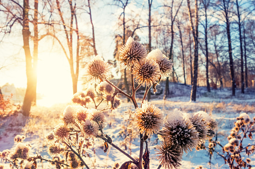 Thistles with snow and frost in December, Oslo Norway 530390707