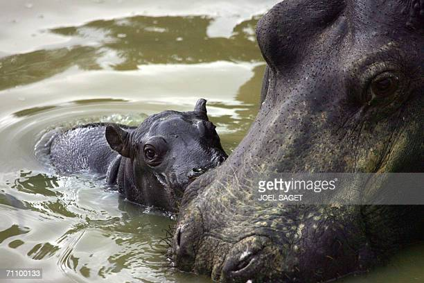 Photo taken 01 June 2006 at Parc de Thoiry zoo shows a hippopotamus mother with her 50kg calf born yesterday under water AFP PHOTO JOEL SAGET