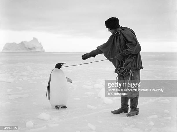 Thomas Clissold leads an Emperor penguin by a rope in the Ross Dependency during Captain Robert Falcon Scott's Terra Nova Expedition to the Antarctic...