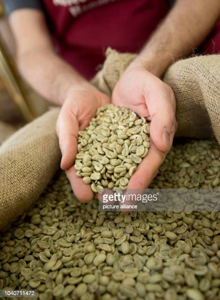 Thomas Hansen holds green coffee at the Hansen Coffee Rosters inRoedermark,Germany, 25 April 2013. Coffee is roasted more slowly than in the large...