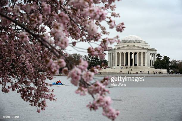 Thomas Jefferson Memorial is seen behind blooming Cherry Blossom trees at the Tidal Basin April 8 2015 in Washington DC The Cherry trees around the...