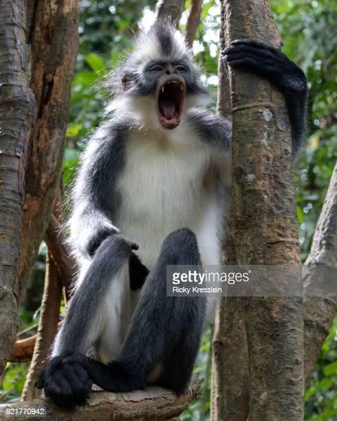 Thomas Leaf Monkey Yawning