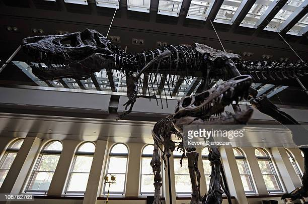 Thomas the Tyrannosaurus rex and a baby TRex featuring three specimens of varying ages are seen at the Natural History Museum of Los Angeles County...