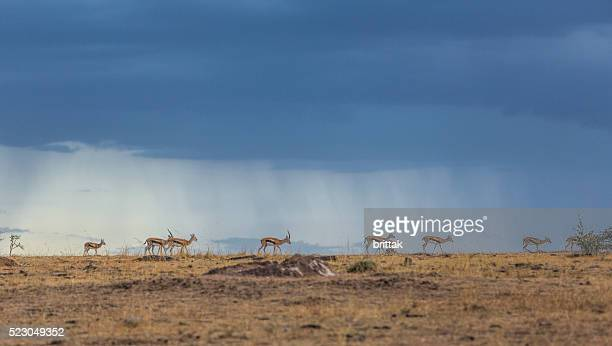 Thompson gazelle against dark sky on African savannah, Masai Mara.