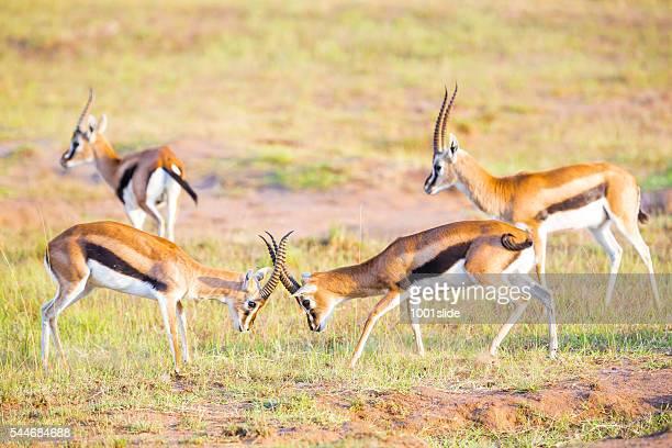 Thompson Gazelles - fighting