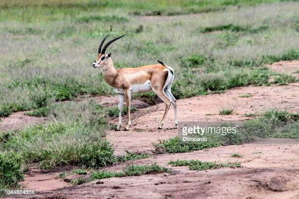 thomson gazelle standing alone - springbok deer stock photos and pictures