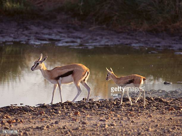 Thomsons Gazelle and Young