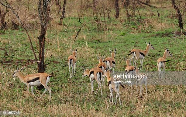 Thomsons Gazelle at Serengeti National Park