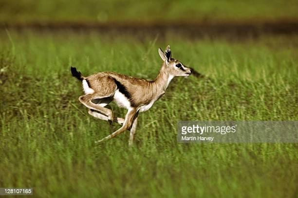 Thomsonís Gazelle, Gazella thomsoni. Young gazelle running. Amboseli National Park, Kenya. Dist. East Africa