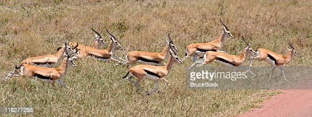 Thomson's Gazelle in the Serengeti