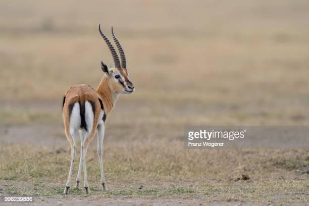 Thomson's gazelle (Eudorcas thomsoni), male, Samburu National Reserve, Kenya