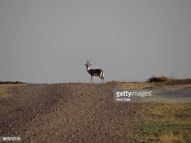 thomson's gazelle on the horizon - springbok deer stock photos and pictures