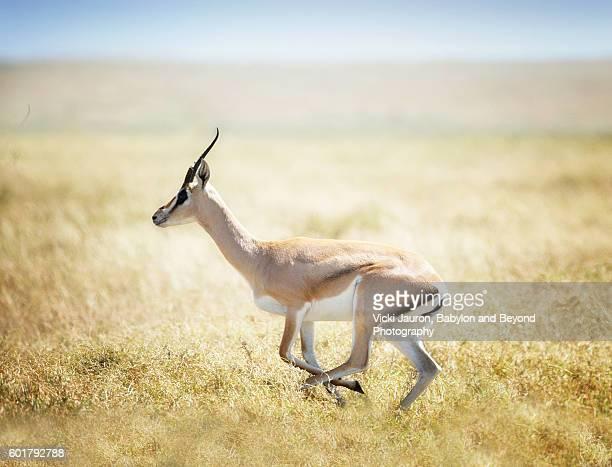 Thomson's Gazelle on the run in the Serengeti