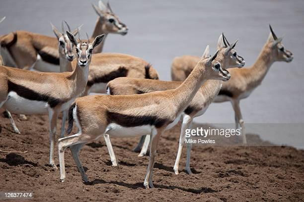 Thomson's Gazelles (Gazella thomsonii) at edge of Mara River, Masai Mara, Kenya, Africa