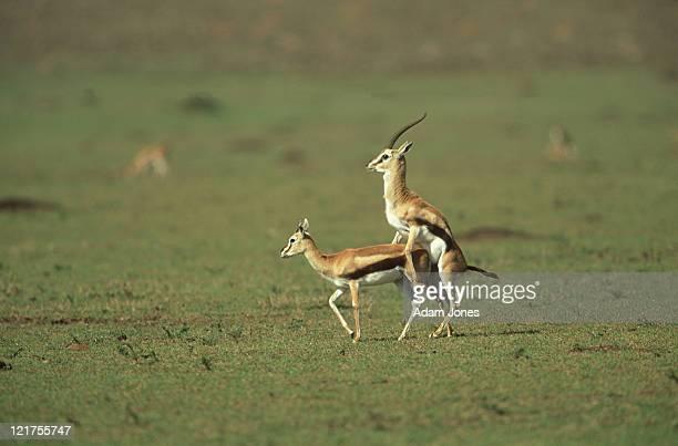 Thomson's gazelles (Eudorcas thomsoni) mating, Masai mara, Kenya