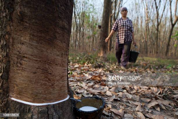 Thongshin Klaharn 49 carries a bucket of rubber sap collected from trees on her and her husband's rubber plantation on February 3 2011 in Rayong...