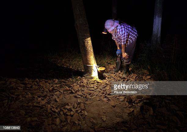 Thongshin Klaharn 49 watches as rubber sap drips out from a rubber tree for collection on her and her husband's plantation on February 3 2011 in...