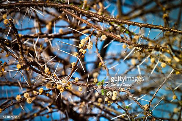 A thorn acacia