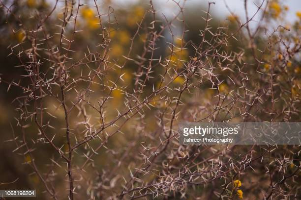 thorn bush - thorn stock pictures, royalty-free photos & images