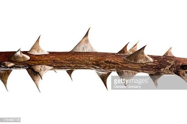 thorn twig - sharp stock pictures, royalty-free photos & images
