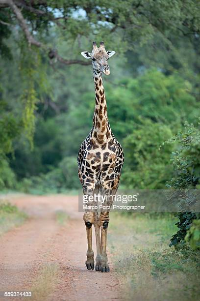 thornicroft's giraffe - south luangwa national park stock pictures, royalty-free photos & images
