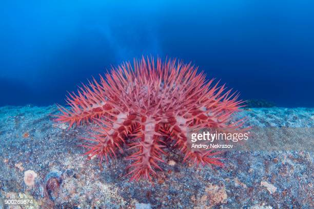 Thorns Sea Star (Acanthaster planci), starfish produces a cloud of sperm, Red sea, Egypt