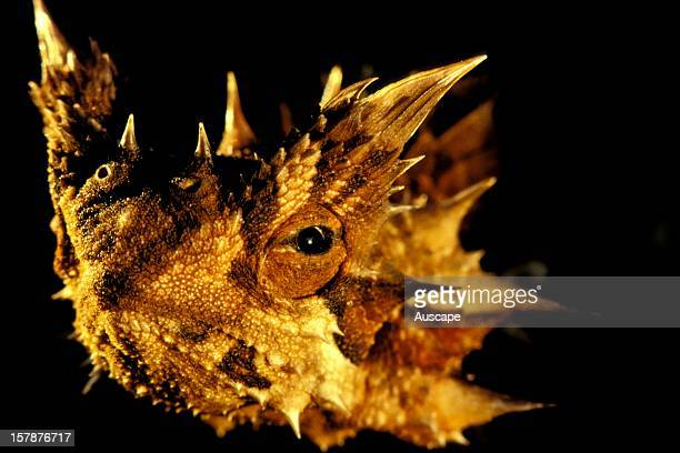 Thorny devil close up of head Central Australia Northern Territory Australia