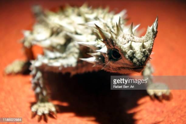 thorny devil reptile - rafael ben ari fotografías e imágenes de stock