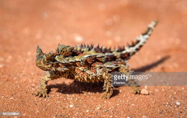 thorny dragon - alice springs stock pictures, royalty-free photos & images