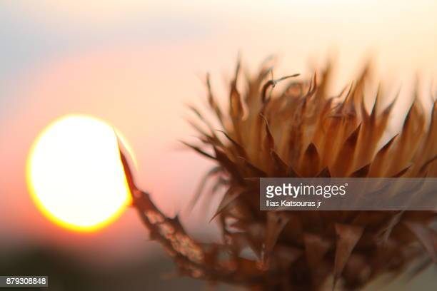 Thorny, dry flower with setting sun in the background