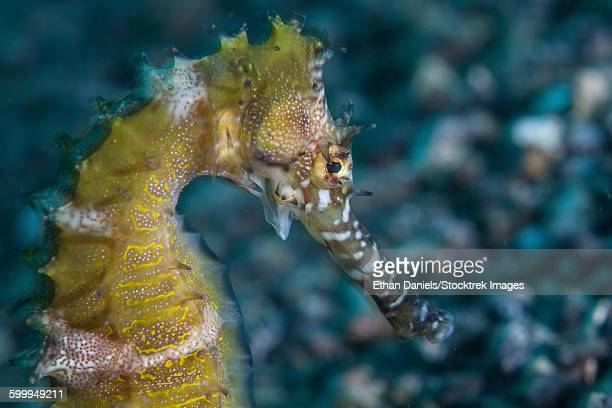 A thorny seahorse on the seafloor of Lembeh Strait.
