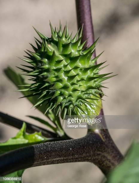 A thorny seed pod of the highly poisonous and hallucinatory Datura plant is viewed on October 11 near Healdburg California A cool spring and mild...