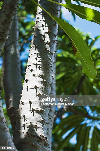 Thorny tree branch, low angle view