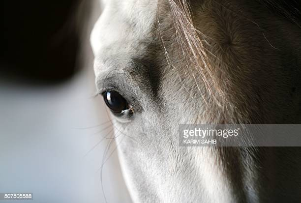 A thoroughbred Arab horse is seen in a stable at the AlDhafra Equestrian Club in the desert near the city of Madinat Zayed 150 kilometres west of Abu...