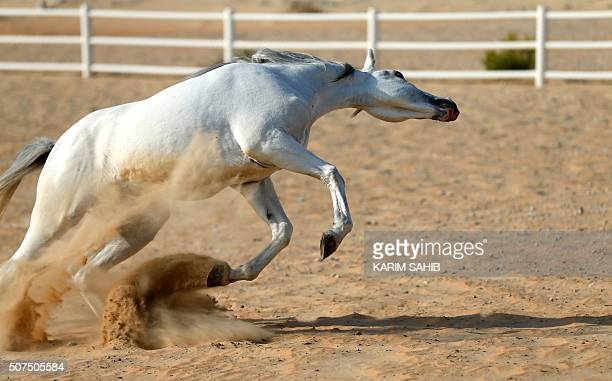 A thoroughbred Arab horse plays in a paddock at the AlDhafra Equestrian Club in the desert near the city of Madinat Zayed 150 kilometres west of Abu...