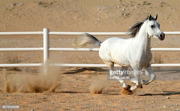 A thoroughbred Arab horse runs in a paddock at the AlDhafra Equestrian Club in the desert near the city of Madinat Zayed 150 kilometres west of Abu...