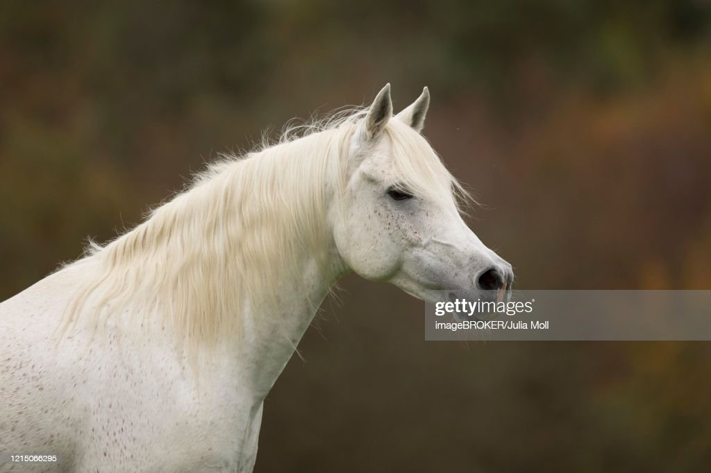 Thoroughbred Arabian Grey Stallion In Autumn Hesse Germany High Res Stock Photo Getty Images