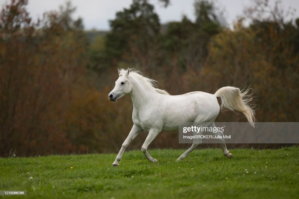Thoroughbred Arabian Grey Stallion Trotting On The Autumn Meadow Hesse Germany High Res Stock Photo Getty Images