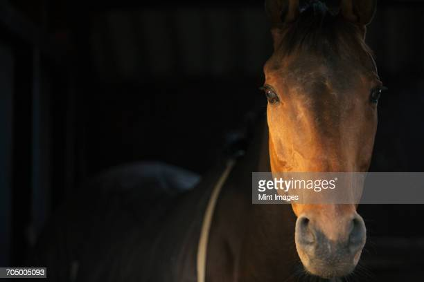 a thoroughbred bay horse, head of the animal, at a stable door.  - thoroughbred horse - fotografias e filmes do acervo