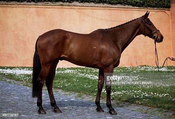 Thoroughbred horse Equidae