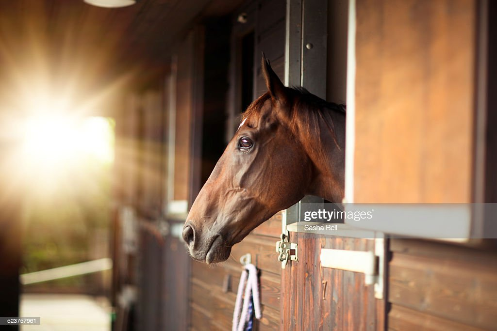 Thoroughbred Horse In Stable : Stock Photo