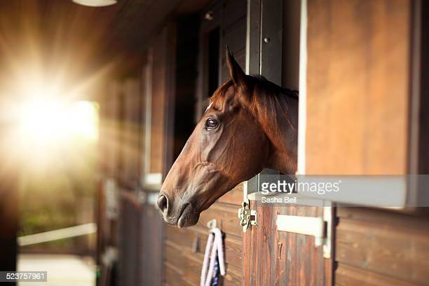 thoroughbred horse in stable - thoroughbred horse - fotografias e filmes do acervo