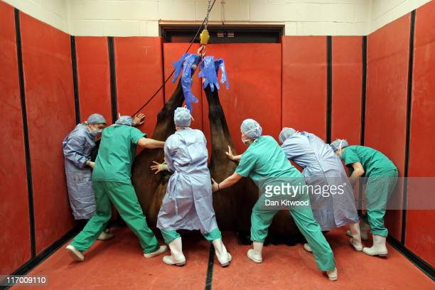 Thoroughbred horse is hoisted up by its feet after succumbing to an anesthetisation in the induction and recovery box ahead of its operation at...