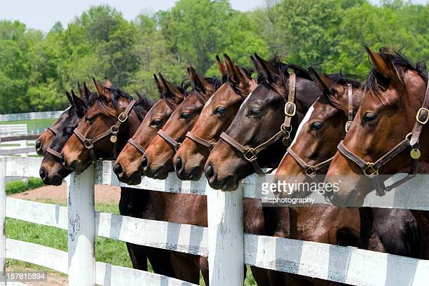 thoroughbred horses on farm - kentucky stock pictures, royalty-free photos & images